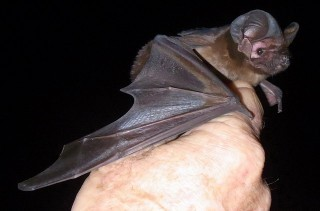 Freetail bat