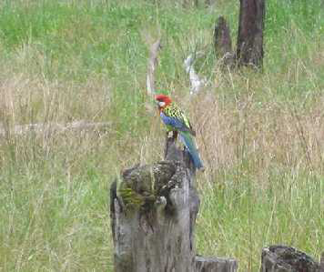 Eastern Rosella at Boulevard Bush Reserve - Nov 2012