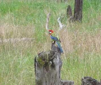Eastern Rosella at Boulevard Bush Reserve - Nov 2012