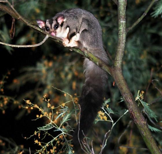 Squirrel Glider - Jordans Bend Shepparton