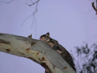 Squirrel Glider in Tree